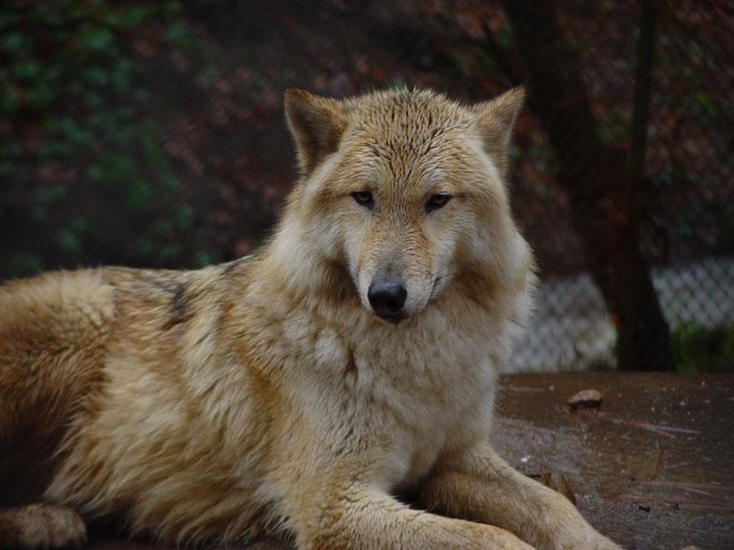 Spirit   The rain wolf by BLACK WOLF  jpgLight Brown Female Wolf